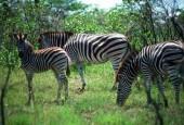 Zebra Chapmana,Equus quagga chapmani,Plains zebra