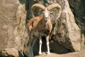 Urial, Ovis orientalis, mouflon