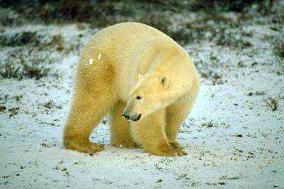 Niedźwiedź polarny, Polar Bear, Ursus maritimus