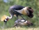Koronnik szary, Balearica regulorum, Grey Crowned Crane