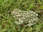 Ropucha zielona, Bufo viridis, green toad
