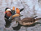 Mandarynka, Aix galericulata, Mandarin Duck