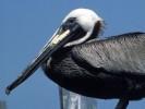Pelikan brunatny, Pelecanus occidentalis, Brown Pelican