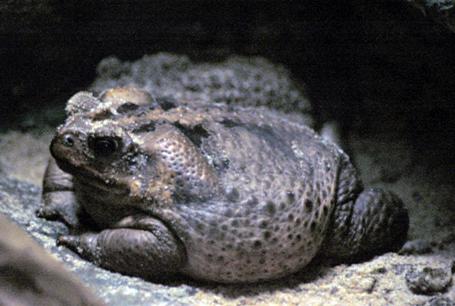 Ropucha aga, Bufo marinus, Cane Toad