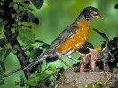 Drozd wdrowny, Turdus migratorius, American Robin