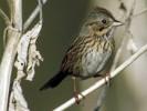 Pasówka płowa, Melospiza lincolnii, Lincoln\'s Sparrow