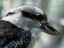 Kukabura chichotliwa, Dacelo novaeguineae, Laughing Kookaburra