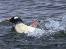 Pingwin białobrewy, Pygoscelis papua, Gentoo Penguin