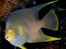 Holacanthus isabelita, blue angelfish