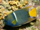 Holacanthus passer, Passer Angelfish