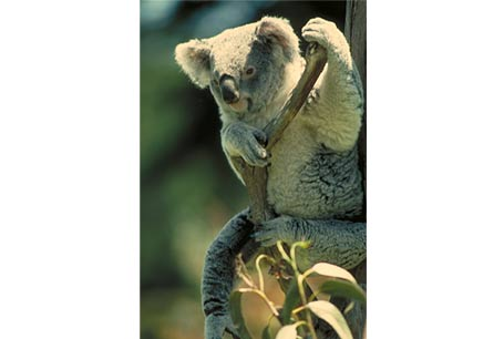 Koala,Phascolarctos cinereus