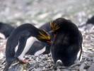 Pingwin złotoczuby, Eudyptes chrysolophus, Macaroni Penguin