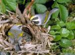 Lasówka złotoskrzydła, Vermivora chrysoptera, Golden-winged Warbler