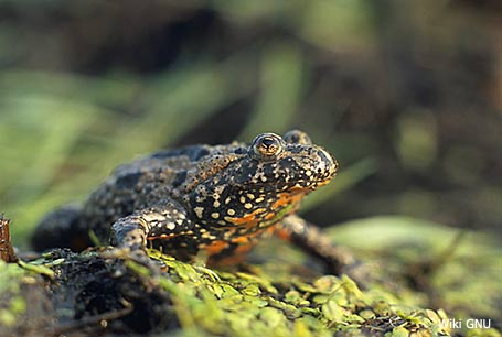 Kumak nizinny, Bombina bombina, European Fire-bellied Toad