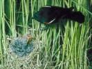Epoletnik trójbarwny, Agelaius tricolor, Tricolored, Tricoloured Blackbird