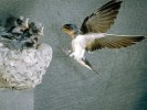 Jaskółka rdzawoszyja, Cliff Swallow, Hirundo pyrrhonota