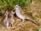 Pasówka białogardła, Zonotrichia albicollis, White-throated Sparrow