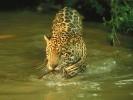 Jaguar,Panthera onca