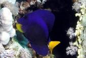 Zebrasoma niebiesko–żółta, Zebrasoma xanthurum, purple tang, yellowtail surgeonfish