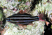 Apogon cookii, Cook\'s cardinalfish