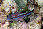 Apogon exostigma, Eyeshadow cardinalfish