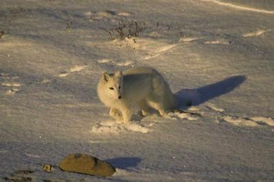 Lis polarny, Alopex lagopus, Arctic Fox