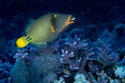 Rogatnica kolczasta, Balistapus undulates, Orange-lined Triggerfish, Orange-striped Triggerfish