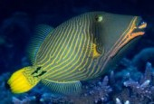 Rogatnica kolczasta, Balistapus undulates, Orange-lined Triggerfish, Orange-striped Triggerfish