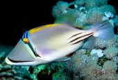 Rożec arabski, Rhinecanthus assasi, Picassofish