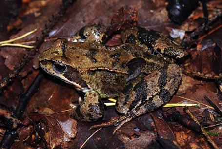 Żaba trawna, Rana temporaria, Common Frog