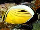 Chaetodon austriacus, Polyp butterflyfish