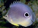 Chaetodon capistratus, Four-eyed Butterflyfish