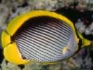 Chaetodon melannotus, Black-backed Butterflyfish