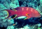 Variola louti, Granik koralowy