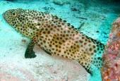 Epinephelus corallicola, Granik panterka, Coral grouper