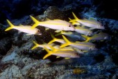Mulloidichthys martinicus, yellow goatfish