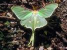Księżycówka amerykańska, Actias luna, Luna Moth