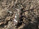 Trzyszcz piaskowy, Cicindela hybrida