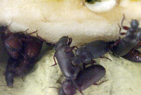 Mącznik młynarek, Tenebrio molitor, Mealworms