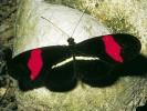 Helikon trójbarwny, Heliconius erato