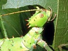 Straszyk olbrzymi, Heteropteryx dilatata