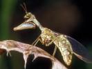 Chwytówka modliszkowata, Mantispa styriaca