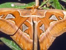 Pawica atlas, Attacus atlas