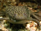Żaba szponiasta, Xenopus laevis, African clawed frog