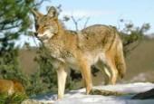 Kojot, Canis latrans, coyote