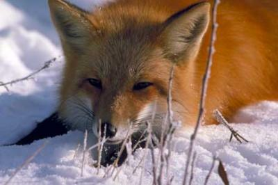 Lis rudy, red fox, Vulpes vulpes