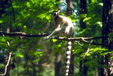 Lemur Katta, Lemur catta