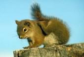 Wiewiórka czerwona, Tamiasciurus hudsonicus, American Red Squirrel