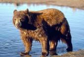 Baribal, Ursus americanus, American Black Bear