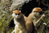 Koczkodan rudy, Erythrocebus patas, Patas Monkey
